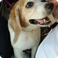 Adopt A Pet :: Snoopy Rothschild Hughes - Waldorf, MD