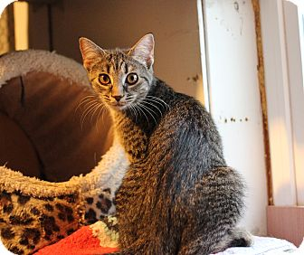 Domestic Shorthair Kitten for adoption in Carlisle, Pennsylvania - Wally