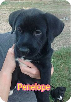 Labrador Retriever/Schnauzer (Standard) Mix Puppy for adoption in Plano, Texas - Penelope