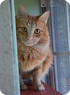 Domestic Longhair Cat for adoption in Carencro, Louisiana - Christopher