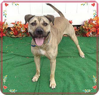 Boxer/Labrador Retriever Mix Dog for adoption in Marietta, Georgia - NADINE (R)