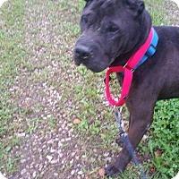 Shar Pei Dog for adoption in Foristell, Missouri - Zeus
