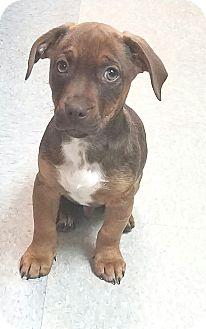 Bulldog/Dachshund Mix Puppy for adoption in Hammonton, New Jersey - junior