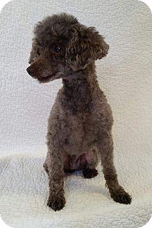 Poodle (Miniature) Mix Dog for adoption in Urbana, Ohio - Janice Star