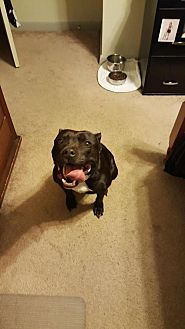 American Pit Bull Terrier Dog for adoption in Norfolk, Virginia - Arial