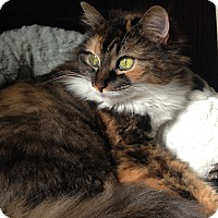 Domestic Longhair Cat for adoption in Toronto, Ontario - Ti-Mine *declawed*