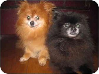 Pomeranian Mix Dog for adoption in Salem, Oregon - Bandit