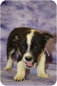 Chihuahua/Terrier (Unknown Type, Small) Mix Puppy for adoption in Broomfield, Colorado - Jelly Bean