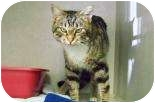 Domestic Shorthair Cat for adoption in Summerville, South Carolina - Hailyn