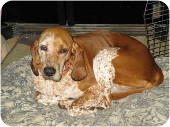English (Redtick) Coonhound/Coonhound Mix Dog for adoption in Carlisle, Pennsylvania - Freckles