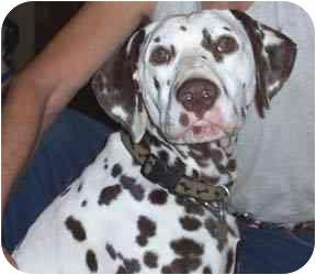 Dalmatian Dog for adoption in Steger, Illinois - Kobe