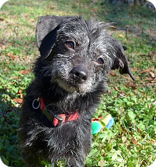 Dachshund/Patterdale Terrier (Fell Terrier) Mix Dog for adoption in Mocksville, North Carolina - Josie