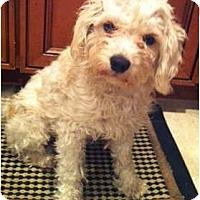 Adopt A Pet :: Vivi - Oceanside, CA