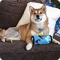 Adopt A Pet :: Nozomi - Centennial, CO
