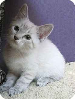 Domestic Shorthair Kitten for adoption in Benbrook, Texas - Charlie