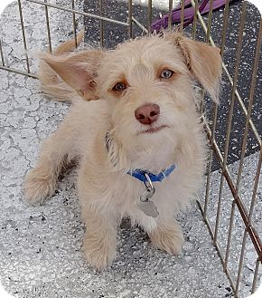 Terrier (Unknown Type, Medium)/Chihuahua Mix Puppy for adoption in Santa Monica, California - Fozzy Bear