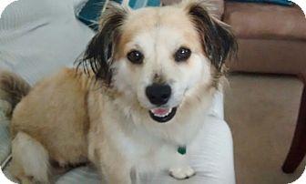 Corgi/Spaniel (Unknown Type) Mix Dog for adoption in Houston, Texas - Robyn