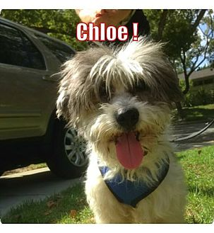 Lhasa Apso/Terrier (Unknown Type, Small) Mix Dog for adoption in Los Angeles, California - Chloe