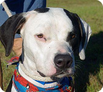 Pit Bull Terrier/Labrador Retriever Mix Dog for adoption in Daytona Beach, Florida - Sammy