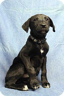 Labrador Retriever Mix Puppy for adoption in Westminster, Colorado - Nova