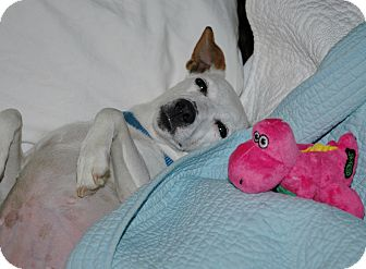 Jack Russell Terrier Dog for adoption in Blue Bell, Pennsylvania - Marilyn (Marti)