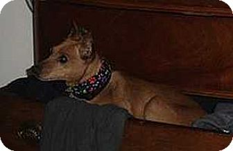 Miniature Pinscher Dog for adoption in Syracuse, New York - Wilson