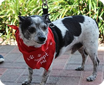 Rat Terrier/Chihuahua Mix Dog for adoption in Las Vegas, Nevada - CHARLIE KISS (CAT FRIENDLY)