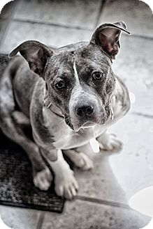 American Staffordshire Terrier Mix Dog for adoption in West Allis, Wisconsin - Patty Cakes