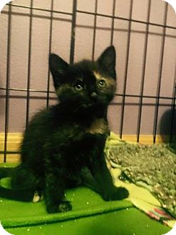 Domestic Shorthair Kitten for adoption in Des Moines, Iowa - Penny