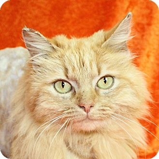 Domestic Longhair Cat for adoption in Jackson, Michigan - Fritz