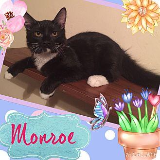 Maine Coon Kitten for adoption in Cerritos, California - Monroe