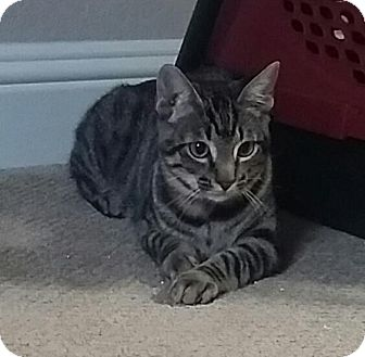 Domestic Shorthair Cat for adoption in Flower Mound, Texas - Jerry