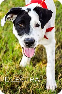 Catahoula Leopard Dog/Border Collie Mix Puppy for adoption in DFW, Texas - Electra