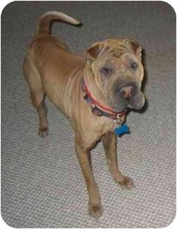Shar Pei Dog for adoption in Houston, Texas - Mercy