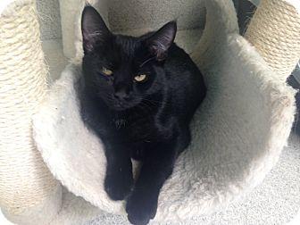 Domestic Shorthair Kitten for adoption in Newport Beach, California - Pepper