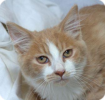 Domestic Mediumhair Cat for adoption in Sacramento, California - Mask M