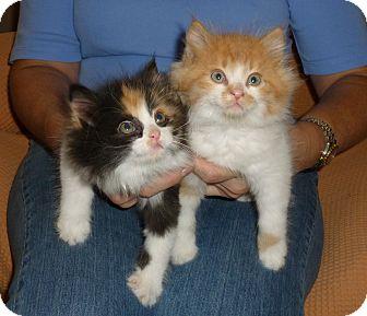 Domestic Longhair Kitten for adoption in Royal Oak, Michigan - William & Kate
