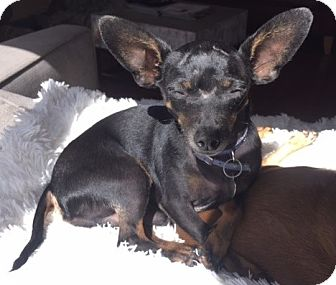 Chihuahua Mix Dog for adoption in San Diego, California - Chirpper