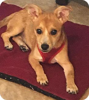 Chihuahua/Dachshund Mix Puppy for adoption in S. Pasedena, Florida - Joey