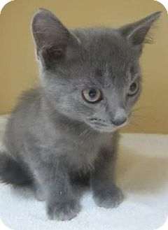 Russian Blue Kitten for adoption in Lincolnton, North Carolina - Ferdinand $20