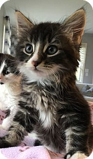 Maine Coon Kitten for adoption in Wayne, New Jersey - Ainsley