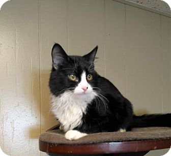Domestic Mediumhair Cat for adoption in Sauk Rapids, Minnesota - Ceasar