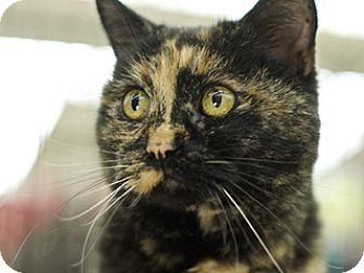 Domestic Shorthair Cat for adoption in Great Falls, Montana - Torti