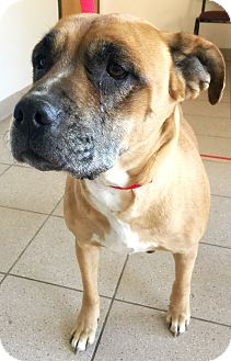 Boxer/American Pit Bull Terrier Mix Dog for adoption in Taylor, Michigan - TATER