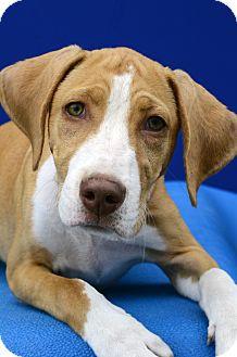 Hound (Unknown Type) Mix Puppy for adoption in LAFAYETTE, Louisiana - SONYA