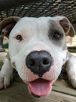 Terrier (Unknown Type, Medium)/Bulldog Mix Dog for adoption in Bryan, Texas - Mia