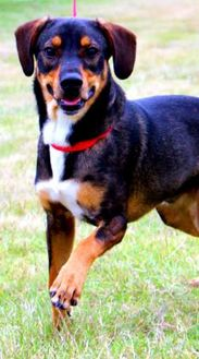 Beagle Mix Dog for adoption in Gainesville, Texas - MG