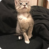 Adopt A Pet :: Megatron - Loveland, CO