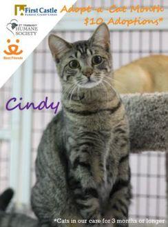 Domestic Shorthair/Domestic Shorthair Mix Cat for adoption in Covington, Louisiana - Cindy