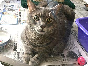 Domestic Shorthair/Domestic Shorthair Mix Cat for adoption in Philadelphia, Pennsylvania - Choo-Choo